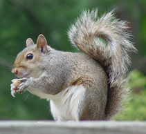 Squirrels, Pest Control Herts, North London