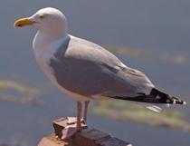 Herring Gull Control Herts, North London
