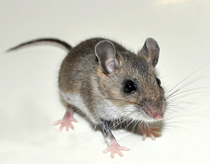 House Mouse, Pest Control Herts, North London