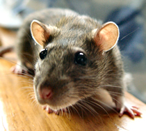 Rats, Pest Control Herts, North London