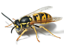 Wasp and Wasp Nest Removal Herts, North London